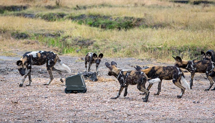 WBL-South-Luangwa-African-Wild-Dogs-121101073711.jpg