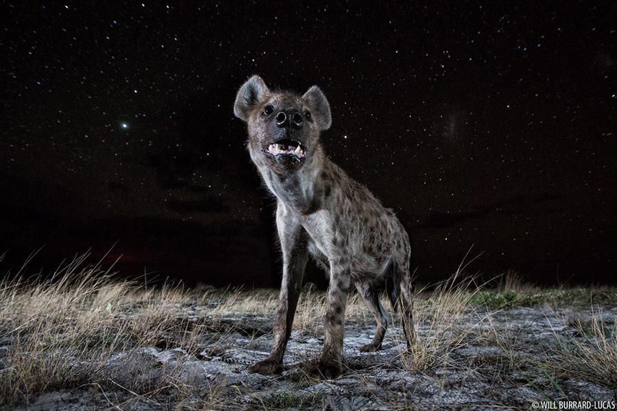 WBL-Liuwa-Plain-Hyenas-151207233509-1536x1024.jpg
